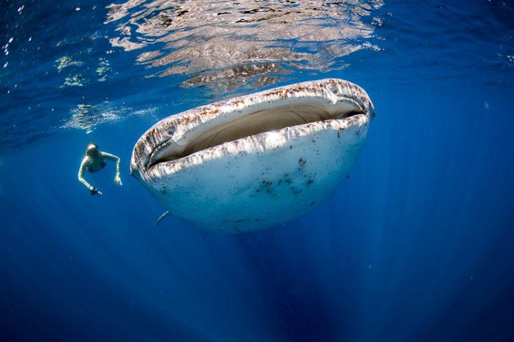 アリフ・ダール環礁区でジンベイザメと一緒に泳ぐダイバー